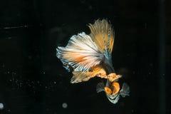 Pescados siameses de la lucha cola hermosa de los splendens medio MES del betta Foto de archivo