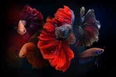 Pescados siameses de la lucha en fondo negro Foto de archivo libre de regalías