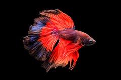 Pescados siameses rojos de la lucha Imagenes de archivo