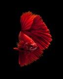 Pescados siameses rojos de la lucha Fotografía de archivo libre de regalías