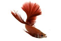 Pescados siameses rojos de la lucha Imágenes de archivo libres de regalías