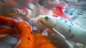 Pescados subacuáticos de Koi en la consumición de la charca metrajes