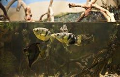 Pescados subacuáticos exóticos en un acuario del parque zoológico Fotografía de archivo libre de regalías