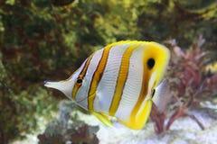 Pescados tropicales Foto de archivo libre de regalías