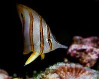 Pescados tropicales Fotografía de archivo