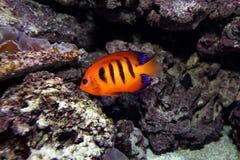 Pescados tropicales Fotos de archivo