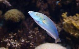 Pescados tropicales Fotografía de archivo libre de regalías