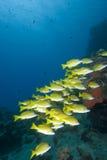 Pescados tropicales amarillos Fotografía de archivo