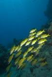 Pescados tropicales amarillos Imagenes de archivo