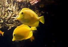 Pescados tropicales amarillos Foto de archivo libre de regalías