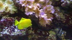 Pescados tropicales amarillos brillantes en paisaje del arrecife de coral, Mar Rojo almacen de metraje de vídeo