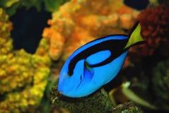 Pescados tropicales azules Fotos de archivo