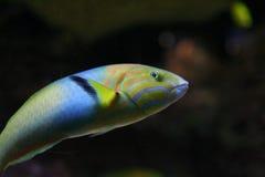 Pescados tropicales coloreados Fotos de archivo libres de regalías