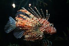Pescados tropicales coloridos Imágenes de archivo libres de regalías