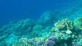 Pescados tropicales coloridos subacuáticos y corales hermosos almacen de video