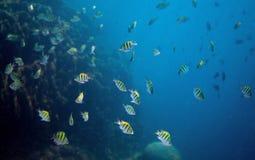 Pescados tropicales Dascillus en el océano abierto Foto subacuática Animal marino Imagenes de archivo