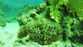 Pescados tropicales de Anemonefish Beautiful Colorful del payaso en Coral Reefs Underwater vibrante en el Mar Rojo Egipto almacen de metraje de vídeo