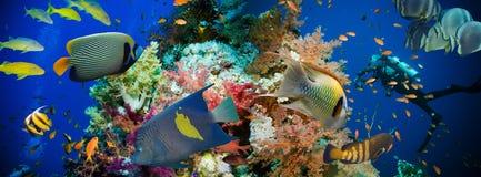 Pescados tropicales de Anthias con los corales netos del fuego Imágenes de archivo libres de regalías