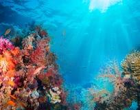 Pescados tropicales de Anthias con los corales netos del fuego Imagenes de archivo