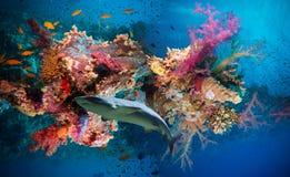 Pescados tropicales de Anthias con los corales netos del fuego y tiburón Fotos de archivo libres de regalías