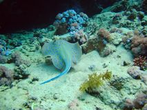 Pescados tropicales de los whiprays de las pastinacas de los roundrays del patín en los arrecifes de coral fotografía de archivo libre de regalías