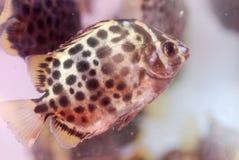 Pescados tropicales del acuario Foto de archivo libre de regalías
