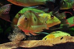 Pescados tropicales del Amazonas Fotografía de archivo libre de regalías