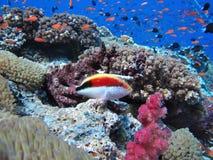 Pescados tropicales del arrecife de coral Foto de archivo libre de regalías