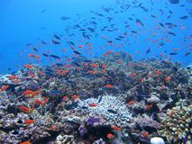 Pescados tropicales del arrecife de coral Fotografía de archivo libre de regalías