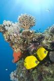 Pescados tropicales del filón coralino. Fotos de archivo