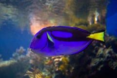 Pescados tropicales del filón coralino Foto de archivo libre de regalías
