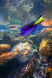Pescados tropicales del filón coralino Fotografía de archivo libre de regalías