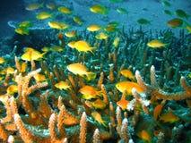 Pescados tropicales del filón coralino imagen de archivo libre de regalías