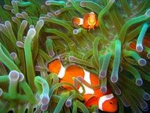 Pescados tropicales del payaso imagenes de archivo