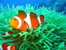 Pescados tropicales del payaso Imágenes de archivo libres de regalías