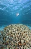 Pescados tropicales en agua azul clara fotografía de archivo libre de regalías