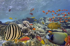 Pescados tropicales en Coral Reef en el Mar Rojo Imágenes de archivo libres de regalías