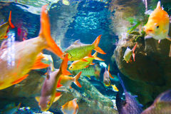 Pescados tropicales en el acuario de Dubai Fotos de archivo