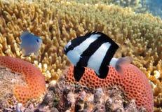 Pescados tropicales en el filón coralino Foto de archivo libre de regalías
