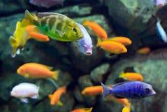 Pescados tropicales en un arrecife de coral subacuático imagen de archivo libre de regalías