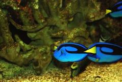 Pescados tropicales exóticos Imágenes de archivo libres de regalías