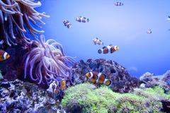 Pescados tropicales exóticos coloridos subacuáticos en acuario Imagen de archivo