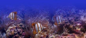 Pescados tropicales - mariposa-pescados Fotografía de archivo libre de regalías