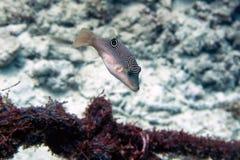 Pescados tropicales - Moalboal, Cebú, Filipinas Fotos de archivo libres de regalías