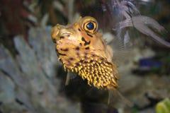pescados tropicales sonrientes - erizo, Diodon Foto de archivo libre de regalías