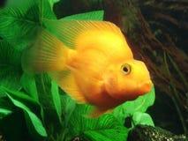 Pescados tropicales - SP de Cichlasoma. (amarillo) Imagen de archivo libre de regalías