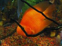 Pescados tropicales - SP de Cichlasoma. (rojo) Imagen de archivo libre de regalías