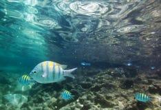 Pescados tropicales subacuáticos Fotos de archivo