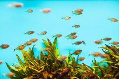 Pescados tropicales translúcidos Foto de archivo libre de regalías