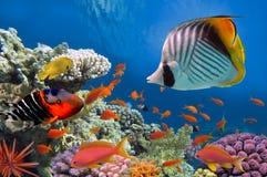 Pescados tropicales y corales duros en el Mar Rojo Fotografía de archivo libre de regalías